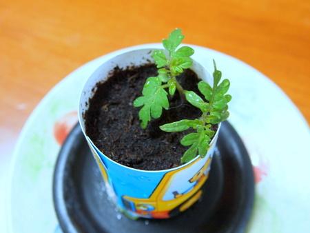 ミニトマトの芽